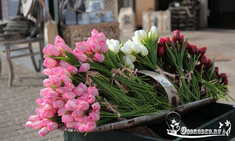 Голланские тюльпаны