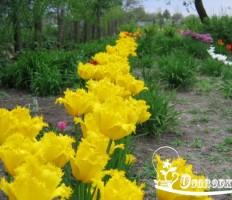 Выращивание тюльпанов или пестрая клумба без хлопот