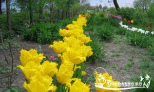Как выращивать и ухаживать за тюльпанами