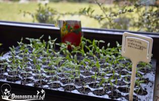Как вырастить рассаду помидор в домашних условиях на подоконнике в квартире?
