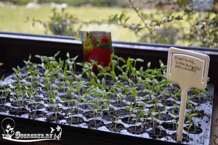 Посев семян и выращивание рассады томатов