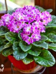 Почему не цветут фиалки или укрощение строптивых