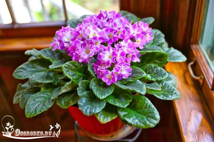фиалка не <u>фитильный полив растений как сделать</u> цветет что делать