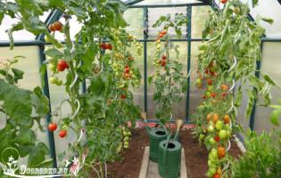 Поливка помидор – как лучше и когда правильно?