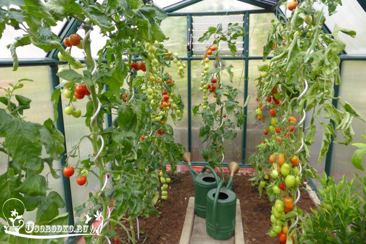 поливка помидор в теплице
