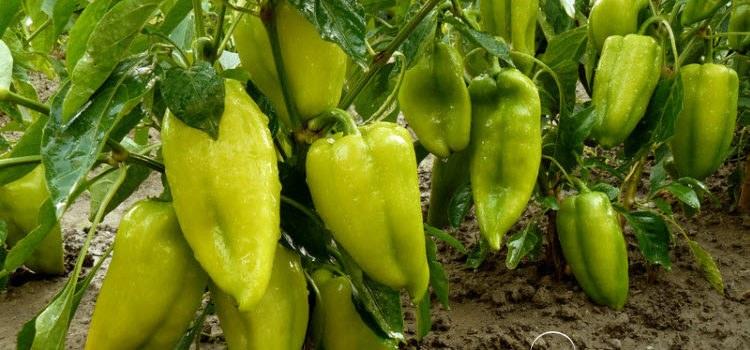 Как вырастить капусту: все подробности выращивания 60