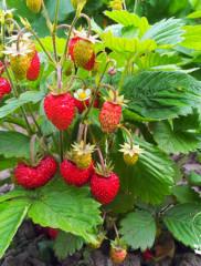 Земляника из семян – полная технология посева и выращивания!