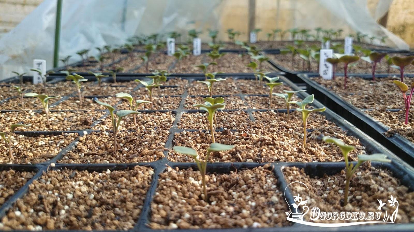 Как выращивать рассаду цветной капусты и брокколи в 6