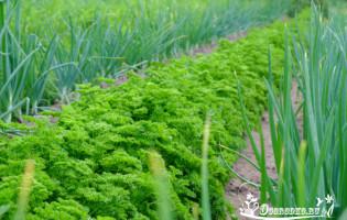 Сорта петрушки листовой и корневой – самые лучшие, скороспелые и урожайные