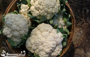 Выращивание цветной капусты – секреты посадки и ухода, сорта
