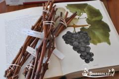 купить черенки винограда