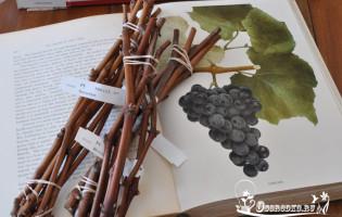 Как посадить виноград весной – нюансы и тонкости агротехники