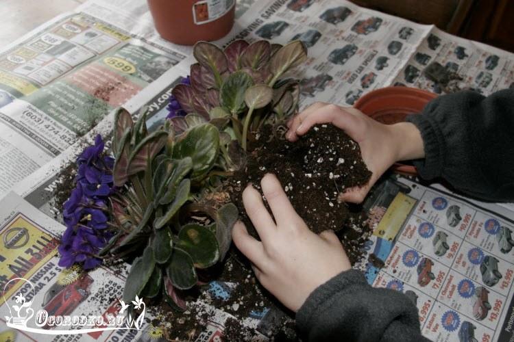 пересадка фиалок во время цветения