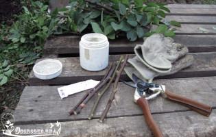 Как вырастить розу из черенка или размножение в домашних условиях