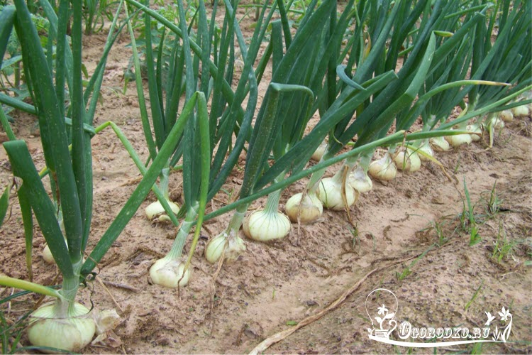 лук штутгартен ризен выращивание