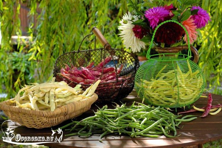 Спаржевая фасоль выращивание и уход