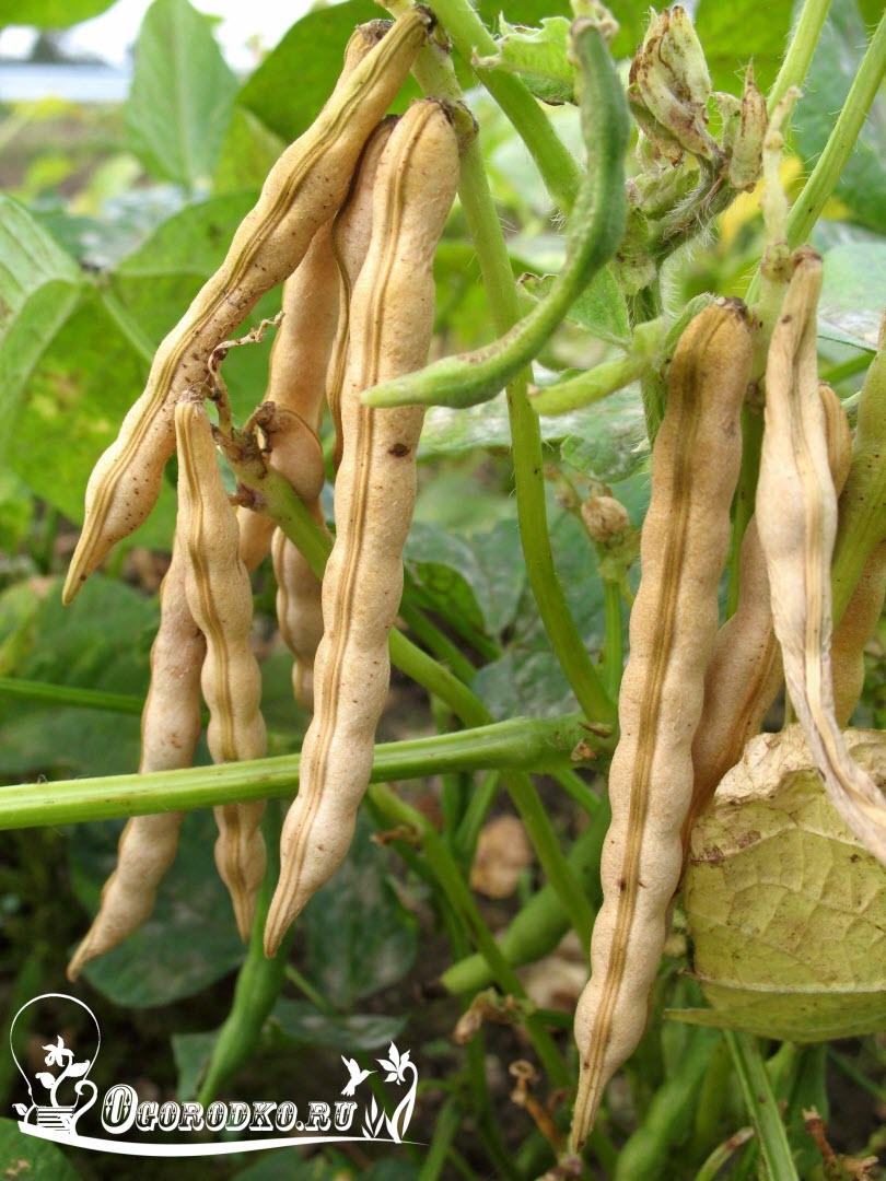 фасоль адзуки выращивание