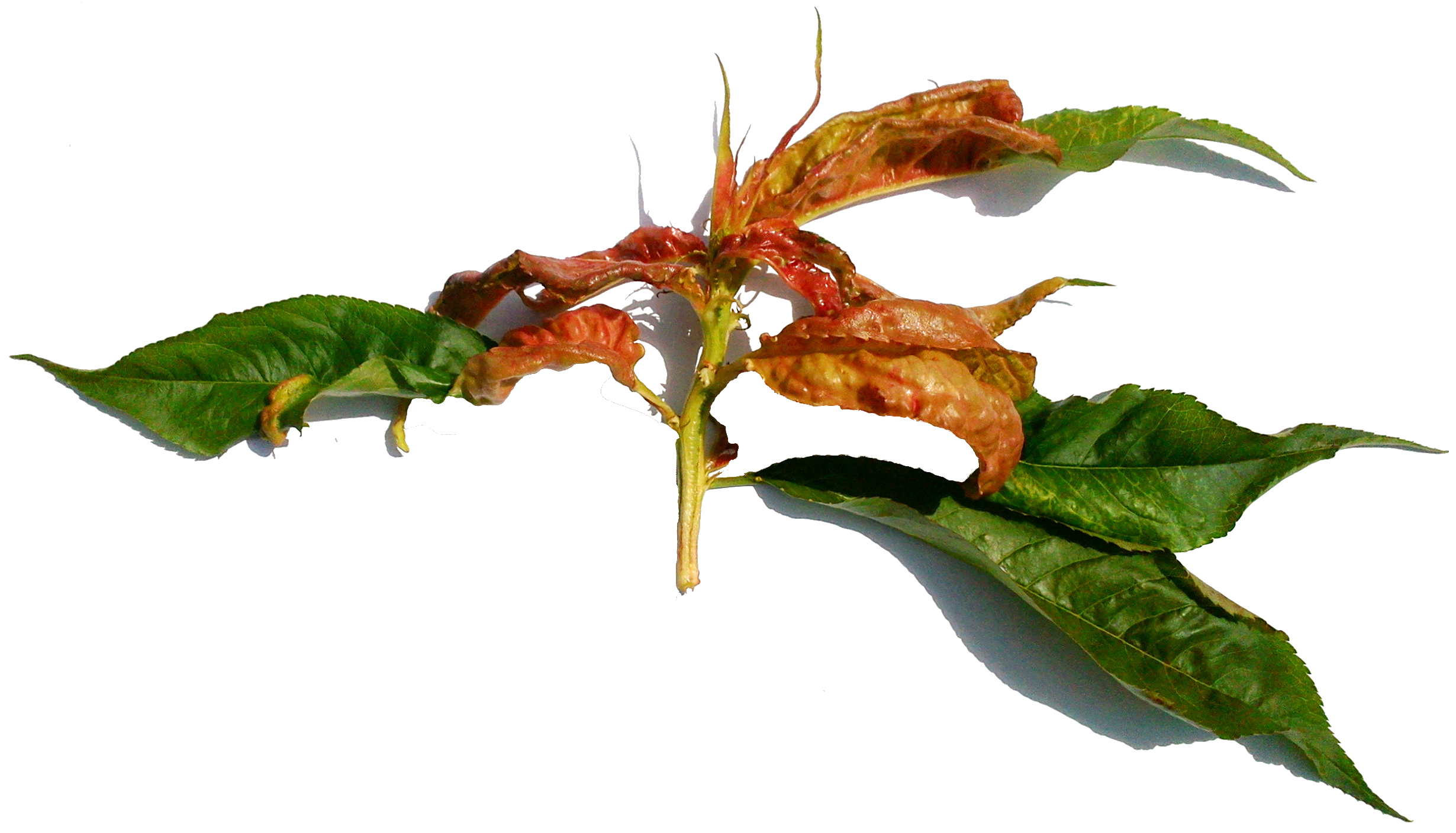 курчавость листьев персика