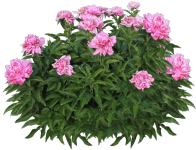 pink_peony_bush_by_margaritamorrigan-d8cr7zl