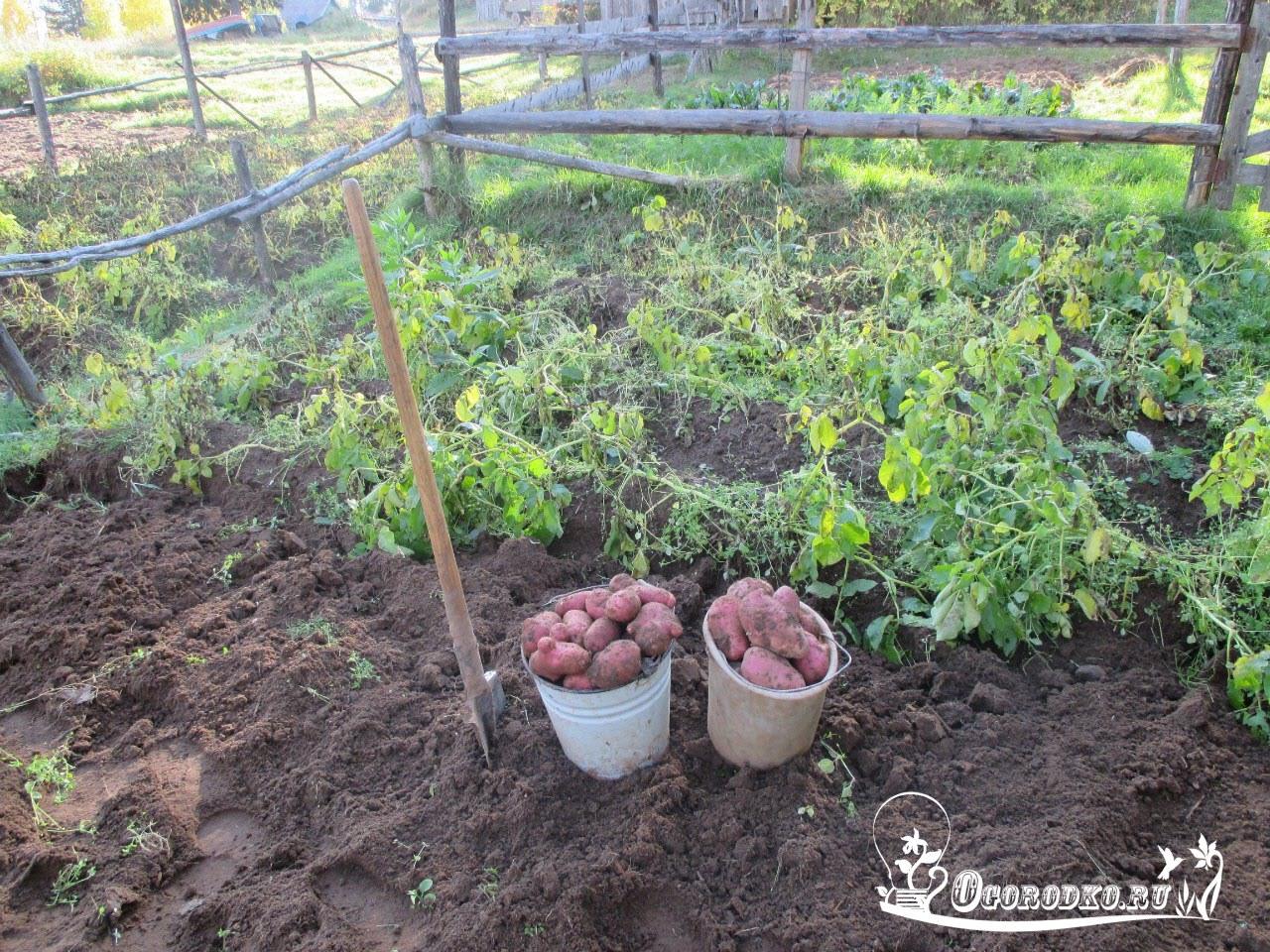 Ред скарлет картофель характеристика
