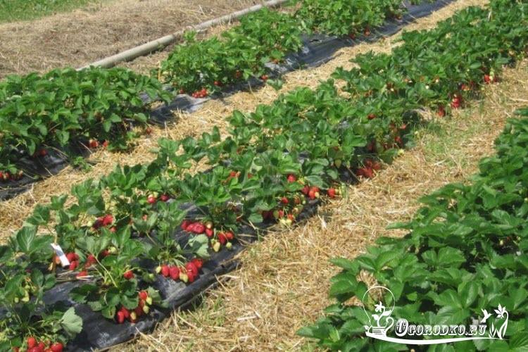 клубника альба выращивание