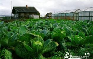 Как вырастить капусту в открытом грунте?
