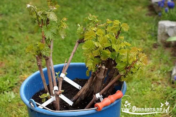 Ukoreneniye cherenkov vinograda v domashnikh usloviyakh