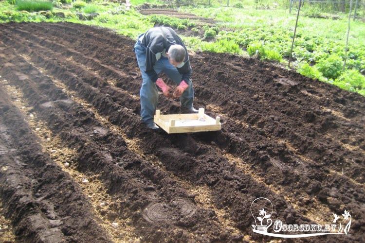 Как сажать и как за ним ухаживать картофель 97
