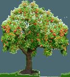посадить яблоню