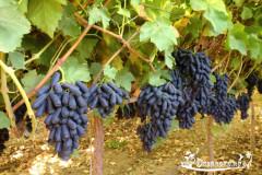 kak ukhazhivat' za vinogradom