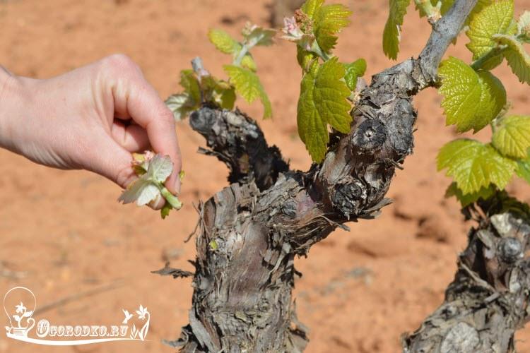oblomka pobegov vinograda