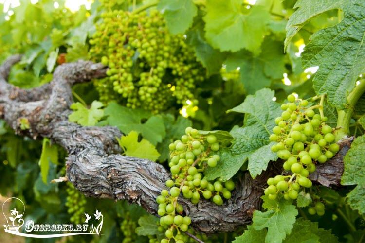 poliv vinograda letom