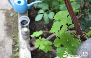 Подкормка винограда – корневая и внекорневая