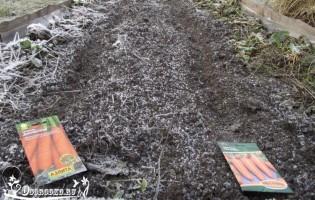 Посадка моркови под зиму – когда и как сажать?