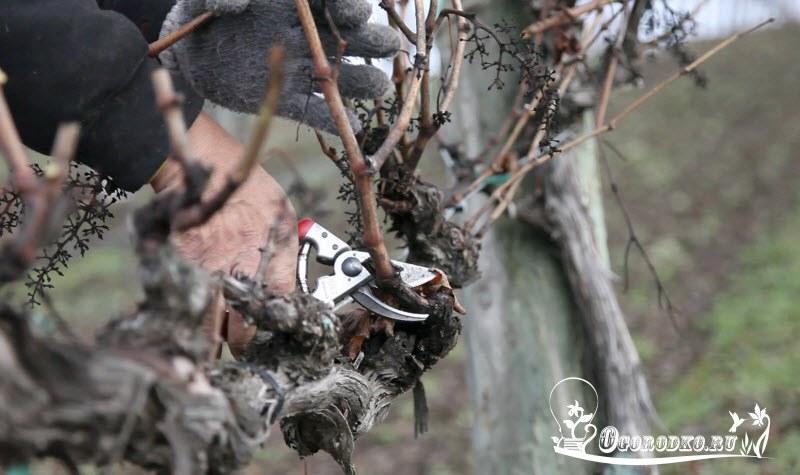 сроки обрезки винограда