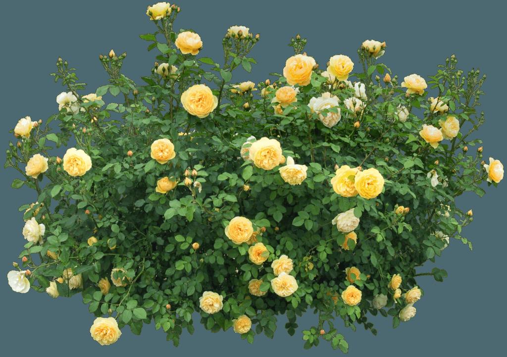 Как укрыть розы на зиму - опыт, советы бывалых по утеплению