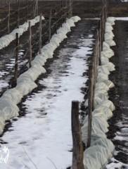 Как укрыть виноград на зиму – процесс в подробностях