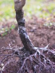 Посадка вишни осенью – как посадить саженцы и в какие сроки?