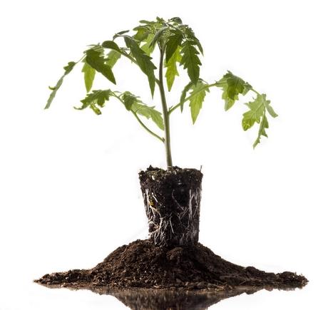 Как вырастить рассаду помидор в домашних условиях - пошаговая технология