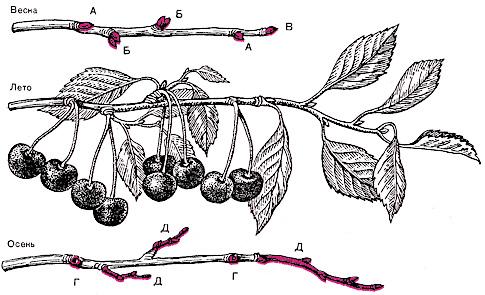 А  - одиночные цветковые почки; Б  - групповые почки; В  - верхушечная ростовая почка; Г -  место прикрепления плодоножек; Д  - однолетние ветки