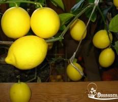 Как ухаживать за лимоном в домашних условиях – шпаргалка для домохозяек