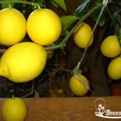 как ухаживать за лимоном в домашних условиях