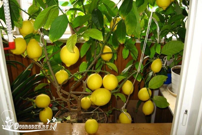 как ухаживать за лимоном, советы, рекомендации