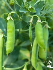 Как выращивать горох на даче?