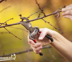Обрезка вишни – как правильно и когда обрезать деревья?