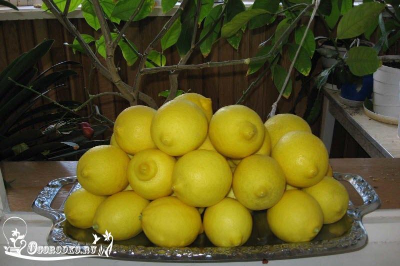 урожай домашнего лимона