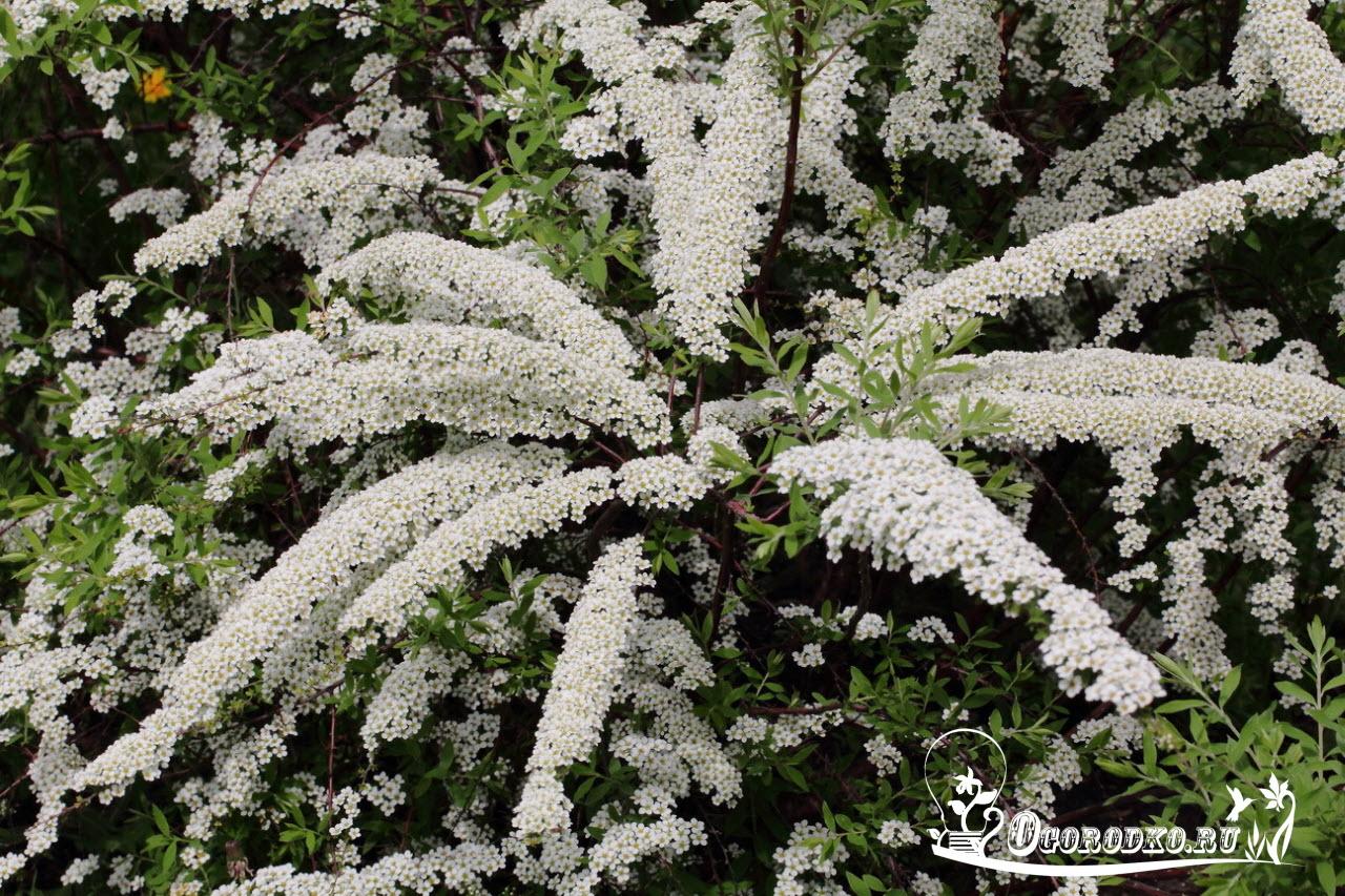 Спирея острозазубренная (Spiraea arguta)