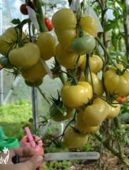 Как ухаживать за помидорами – советы и секреты опытных дачников