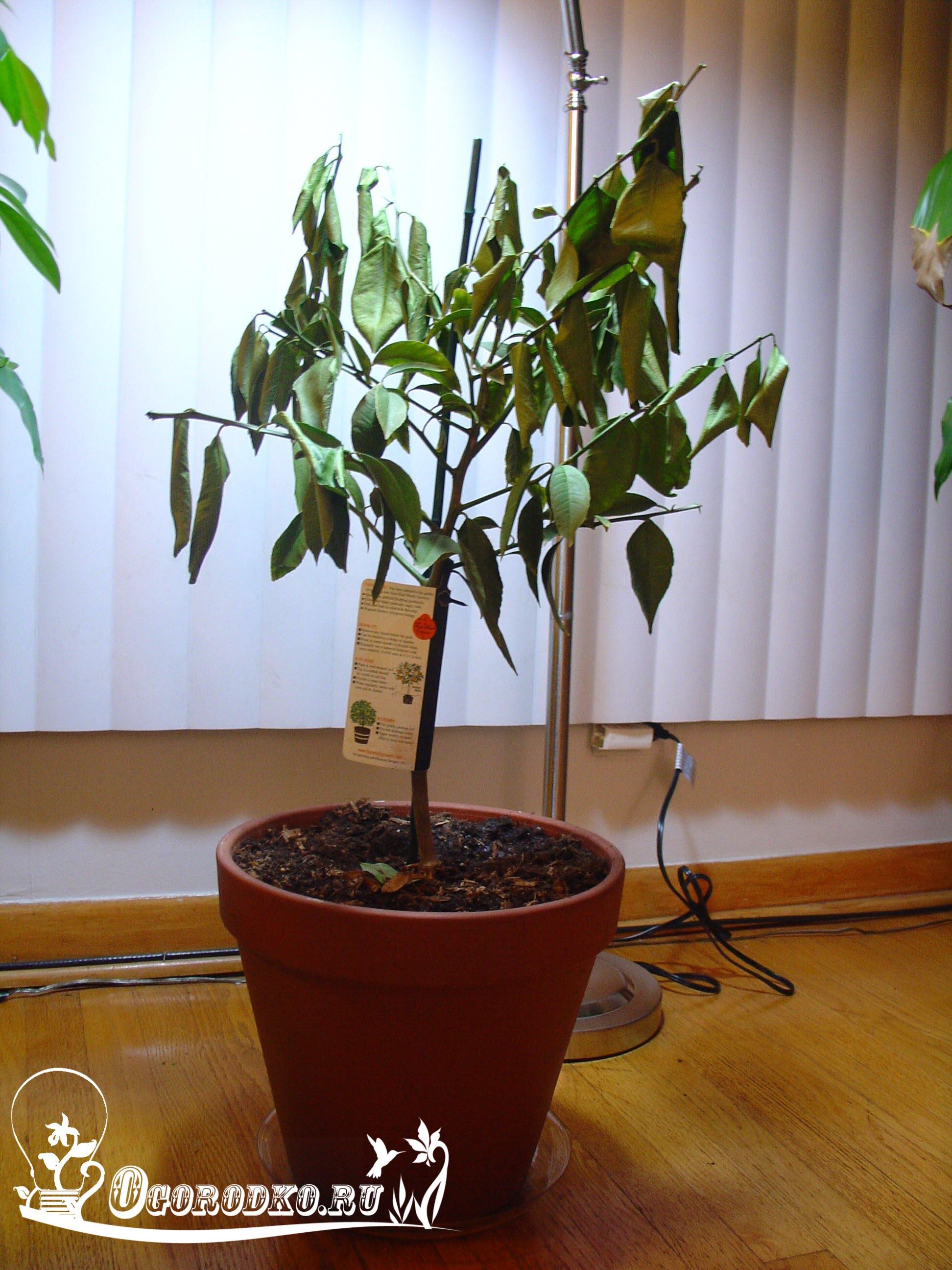 почему у лимонного дерева скручиваются листья