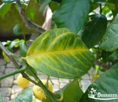 У лимона опадают листья – что делать с растением, как спасти?